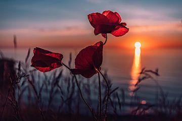 Les coquelicots au coucher du soleil