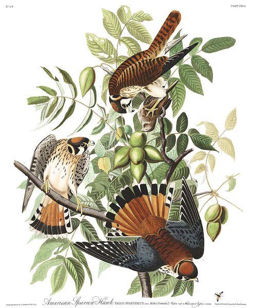 Amerikaanse Torenvalk van Birds of America
