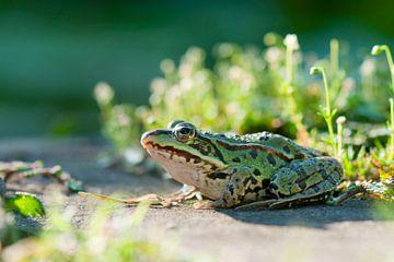Edible frog (Pelophylax kl. esculentus)  von