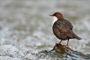 White-throated Dipper ( Cinclus cinclus ) perched on a rock in fast flowing water of a mountain cree