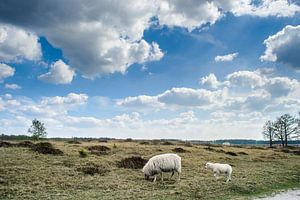 Grazende schapen in Nederlands landschap
