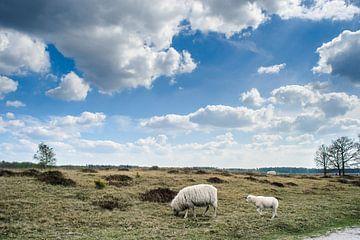 Grazende schapen in Nederlands landschap van Fotografiecor .nl
