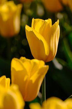 Tulpen van Erik Koole