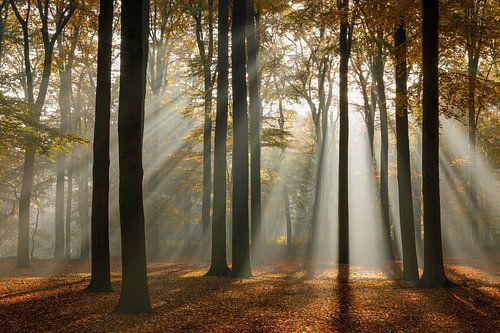 Zonnestralen in het beukenbos in de herfst