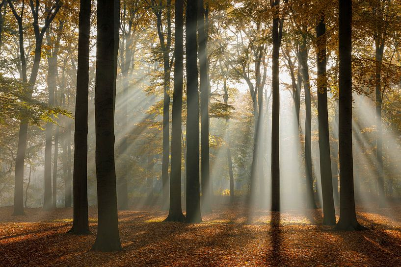 Zonnestralen in het beukenbos in de herfst, Utrechtse Heuvelrug, Nederland van Sjaak den Breeje