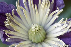 Clematis I, bloem Macrofotografie