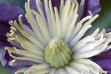 Clematis I, bloem Macrofotografie van Watze D. de Haan