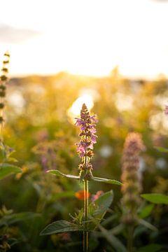 Fleur dans la lumière du soir sur Tomas Grootveld
