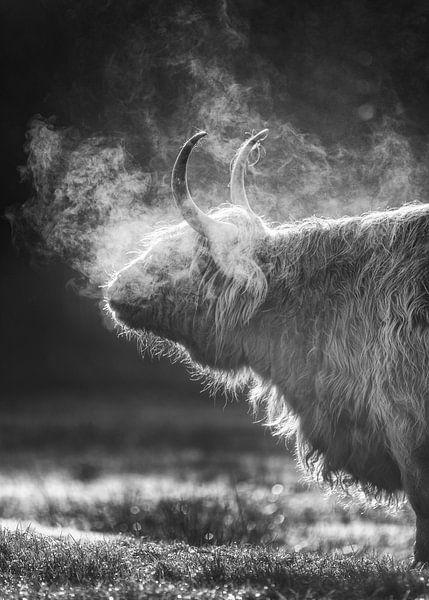 Highlander écossais, Texel sur Edwin Kooren