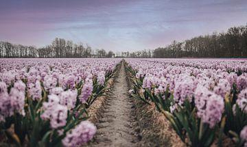 Feld mit lila Blumen von Sanne Dost