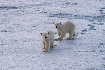 IJsbeerwelpen op Spitsbergen van Merijn Loch