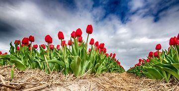 Rote Tulpen 2020 F von Alex Hiemstra
