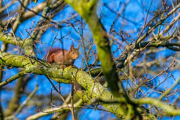 Ein Eichhörnchen läuft in der Baumkrone über einen Ast von Matthias Korn