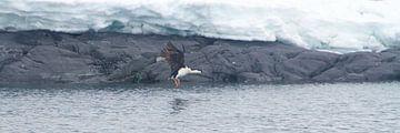 Antarctische aalscholver klaar voor de landing van Eric de Haan