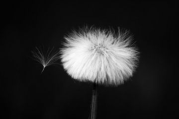 Paardenbloem pluis in zwart-wit van Ingrid Meuleman