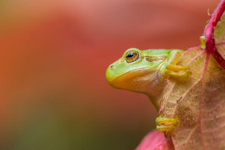 Boomkikker in herfstkleuren van Carol Thoelen