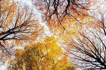 Aufwärtsblick in einem sonnigen Wald während eines schönen nebligen Herbsttages mit braunen goldenen von Sjoerd van der Wal