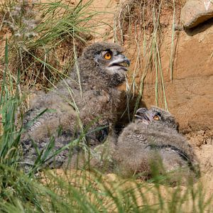 Eurasian Eagle Owls ( Bubo bubo ), young chicks on a warm sunny day, sitting / lying over day behind