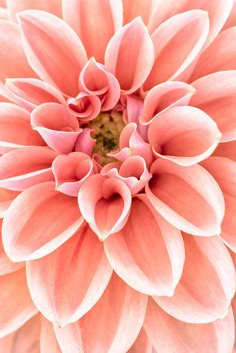 Flower dahlia closeup