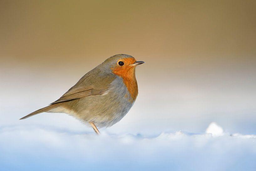 Robin Redbreast *Erithacus rubecula* in winter van wunderbare Erde
