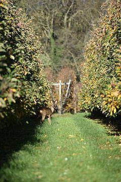 Hirsche in der Apfelplantage von Eva-Britt Rongen