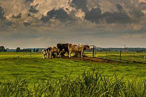 Kühe auf der Wiese von nol ploegmakers