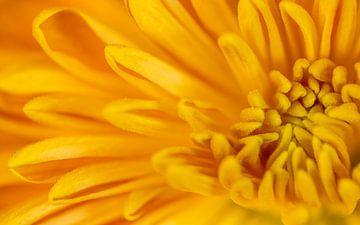Detailaufnahme einer gelben Chrysantheme von ElkeS Fotografie
