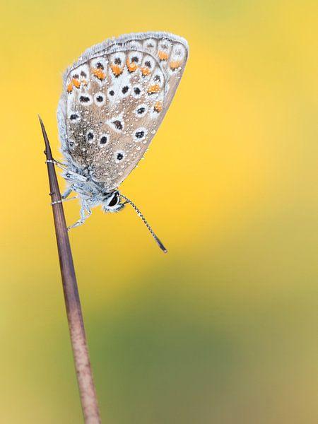 Icarusblauwtje van Marcel van Os