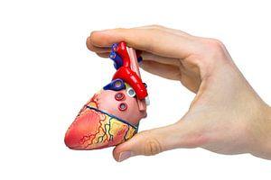 Hand toont model menselijk hart
