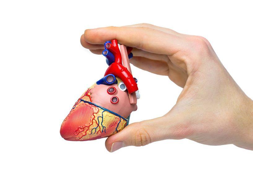 Hand toont model menselijk hart  van Ben Schonewille