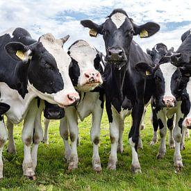 Koeien in het weiland van Inge van den Brande