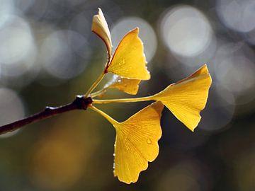 Ginko in Herbstfarben von Katarina Niksic