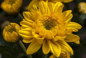 Gele chrysant bloem van
