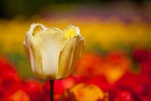 Gelbe Tulpe im Tulpenmeer von Martin Steiner
