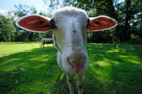 Weitwinkel-Schaf von Borg Enders