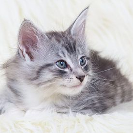 Noorse boskat kitten van Francois Debets