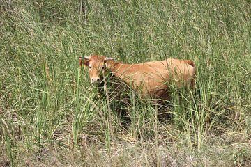Hausrind, Rind, Kuh im Gras - Evros Delta Griechenland von ADLER & Co / Caj Kessler