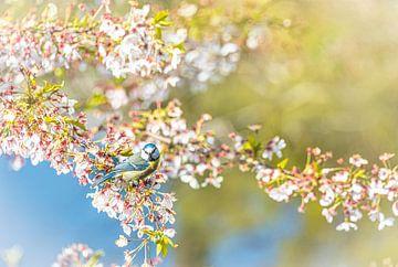 Blaumeise in Kirschblüte von Rietje Bulthuis