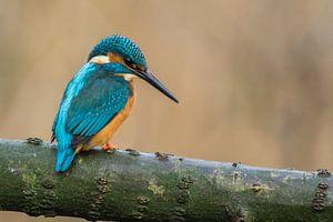 IJsvogel op jacht