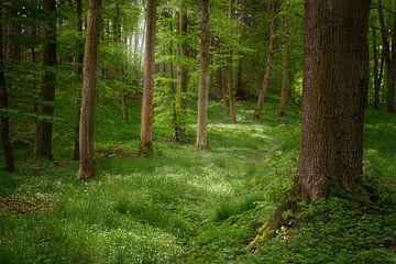 Baumstämme in einem Nadelmischwald mit weiß blühenden Bodendeckerpflanzen und Sonnenlicht von hinten von Maren Winter