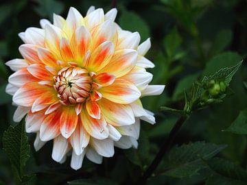 orange-gelbe Dahlien von lieve maréchal
