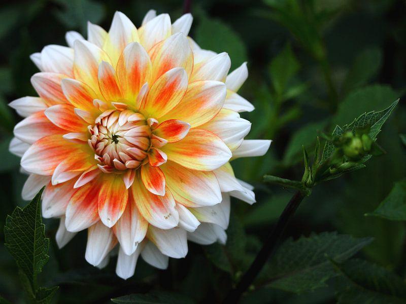 oranje-gele dahlia van lieve maréchal