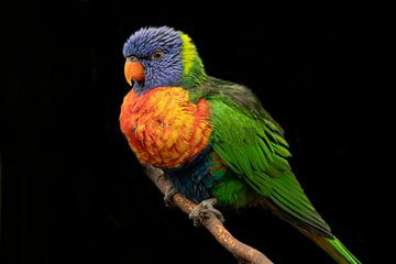 lori, eine kleine papageienart von Gert Hilbink