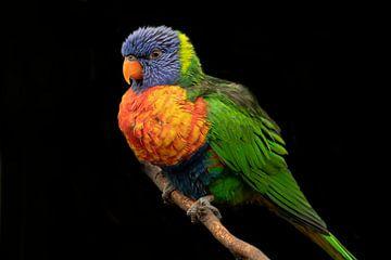 Lori, een kleine papegaaiensoort van Gert Hilbink