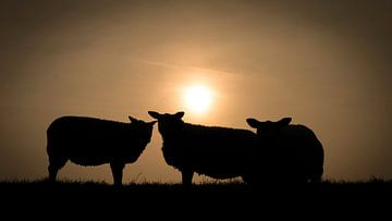 Silhouette de trois moutons au coucher du soleil sur Michel Seelen