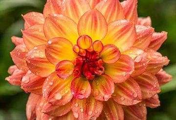 Die schöne orange Dahlienblume, die mit Regen bedeckt wird, fällt von Yusuf Dzhemal