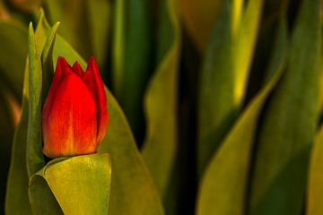 Concept Mother´s Day : Red tulip van Michael Nägele