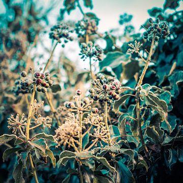 Blühender Efeu an einem kalten Wintermorgen von Idema Media
