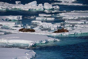 Walross auf der Eisscholle von Merijn Loch