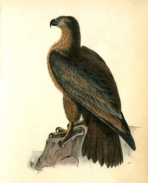 Adelaar, Washington Sea Eagle., Audubon, John James, 1785-1851 van Liszt Collection